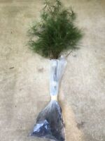 8 Amazons Choice Select  White pine trees 15-19 inch tall transplant seedlings