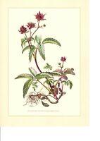 Farbdruck Wald-Veilchen lila Offset Original 1957 Herbar Viola Botanik