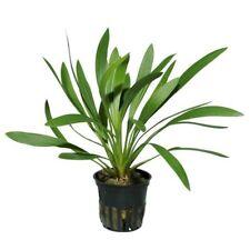 Echinodorus uruguayensis - Popular Aquatic Plant
