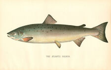 Rare 1892 Antique Denton Fish Print ~ The Atlantic Salmon ~