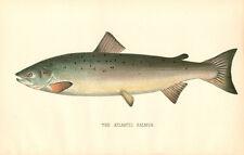 Rare 1892 Antique Denton Fish Print ~ The Atlantic Salmon ~