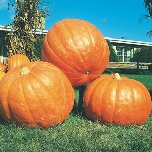 PUMPKIN BIG MAX - Giant Variety Jack O' lanterns Vegetable - 5 SEEDS free post