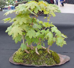 5 X Spitzahorn Acer platanoides Pre Bonsai Baum