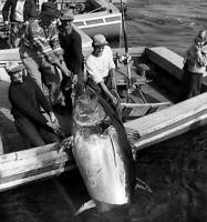 Four Men Haul 716 Pound Tuna In Wedgeport 1950 OLD FISHING PHOTO