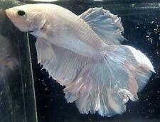 New listing Betta Pastel Metallic Pink Aqua Blue Green Rose Tail Halfmoon Male Premium Wp05
