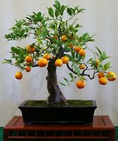 Mandarin Orange Bonsai Tree Citrus, fresh seeds! Houseplant edible