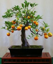 Mandarin Orange Bonsai Tree Citrus, fresh seeds! Houseplant edible