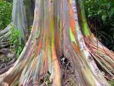 5000 Samen Eucalyptus deglupta, Regenbogeneukalyptus, Rarität!