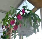 Schlumbergera Truncata Violette - (Cactus de Noël)