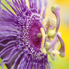 "LIVE Passion Flower Plant (Passiflora incarnata x cinnicata) 3-5"" rooted cutting"