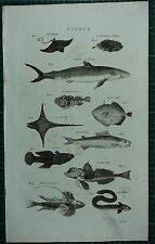 1786 PRINT ~ FISHES CANIS SHARK SEA EAGLE GURNARD EEL SEA DEVIL FATHER LASHER