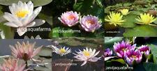 Grab Bag 3 Water Lily Surprise plants bog filter koi pond garden J&J Aquafarms