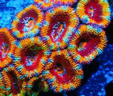 Cornbred's Morning Glory Acan - Frag - Live Coral