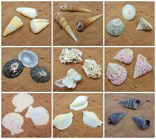 Large Beach Shells Individual Sea Shells Seashell Decoration Aquarium UK SELLER