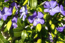 10 Vinca minor La Grave / Lesser periwinkle La Grave In 10cm Pots