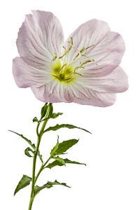 500+ Pink Showy Evening Primrose Seeds | A Perennial Medicinal Herb Flower