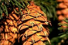 "Pine cones, 50 Douglas Fir 1""-4"" Pine cones, arts and crafts, Christmas"