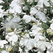 Lobelia Seeds Riviera White Multi Pelleted Seeds 50 Seeds