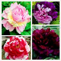 10 PCS Seeds Perennial Peony Flowers Plants Species Mixed Color Bonsai Garden H