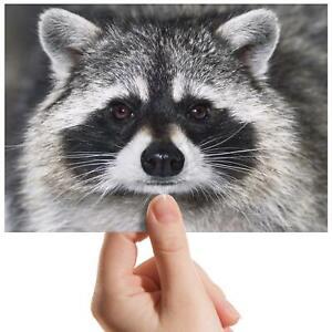 "Raccoon Wild Animal America Small Photograph 6"" x 4"" Art Print Photo Gift #14190"