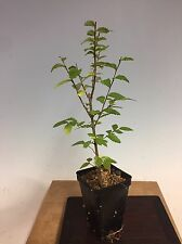 "Chinese Elm, Ulmus Parviflora Pre Bonsai Seedling Stock. 2 1/4"" Potted"