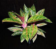 "Aglaonema Tropic Passion 6"" Relatively Rare~Strikingly Gorgeous Tropical Plant"