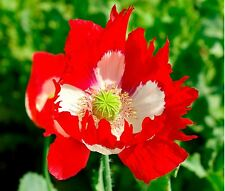 Flower - Papaver - Poppy - Victoria Cross - 4000 Seeds
