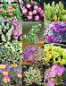 EXOTIC ANTIMIMA MIX @j@ flowering succulent cactus living stones desert 15 SEEDS