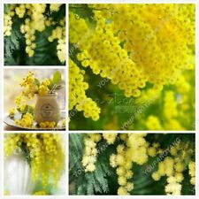 50- Golden Albizzia seeds beautiful Golden acacia tree Yellow Albizzia flowers
