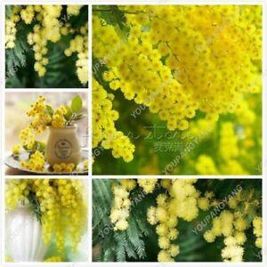 50- Golden Albizzia seeds beautiful Golden acacia tree Yellow Albizzia flowers