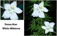 Pure White Texas Star Shaped True Perennial Hibiscus Bush    10 SEEDS