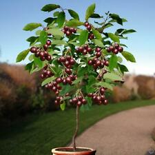 20 Seeds Cherry Prunus Fruit Tree Cerasus Bonsai Plants Potted and Home Garden