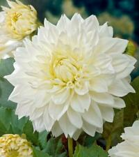 Dahlia Dinnerplate 'White Perfection' Quality Bulb/Tuber Pack x1