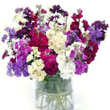 Fragrant Stock Ten Week Perfume ~Live Plants Plugs~
