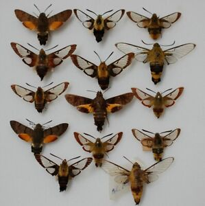 Nice bunch of Bee hawks from Europe