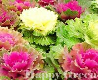 Ornamental Cabbage MIX  - 180 SEEDS - Brassica Oleracea - ANNUAL - Cut flower