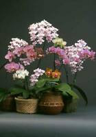 Special offer GIFT - Rare Moth phalaenopsis orchid Seedling for Orchid beginner