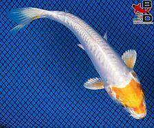 "New listing 5"" Doitsu Hariwake Live Koi Fish Pond Garden Bkd"