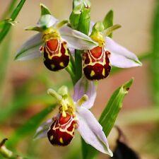 30x bee orchid ophrys apifera Bienen Ragwurz Samen Hingucker Pflanze Neu #3