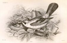 Bechstein's Caged Birds Engraving -1857- JAY by Lizars