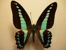 Real Dried Insect/Butterfly Non-Set.Large Blue/Green Graphium milon anthedon