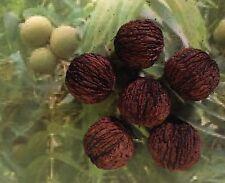 (6) Black Walnut Tree Seeds ,  Seeds of Kansas, Walnut Tree   (w)
