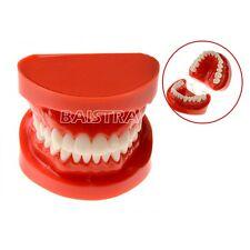 Dental Teach Study Adult Standard Typodont Demonstration Model Teeth Best New UK
