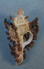 MUREX BANKSII 53.24mm SUPER CHOICE RARE SPECIMEN off Townsville, Qld., Australia