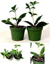 "Sweet Olive Tree Osmanthus Houseplant  2 Pack of 4"" Pot Indoors Plant Best New"