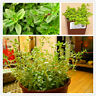 Lemon Thyme Herb Seeds Plants Bonsai Vegetable Flores Thymus 200pcs/bag