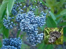 5 Blue Elderberry Seeds -Sambucus