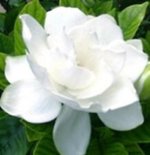 6 x GARDENIA FLORIDA augusta low hedging perfume flowers plants in 40mm pots
