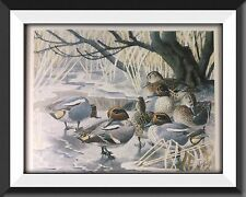 A Family Of Teal Vintage Print By Tunnicliffe Beautiful Birds Can Be Framed - P2