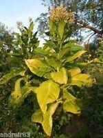 Momordica Balsamic Momordica Balsamina non-GMO Ukraine 5 seeds D Farmer/'s dream